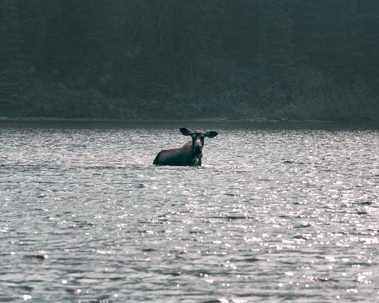 Moose At Fishercap Lake, Montana