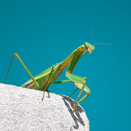 Curious Praying Mantis