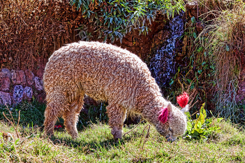 You guessed it. Alpaca eating