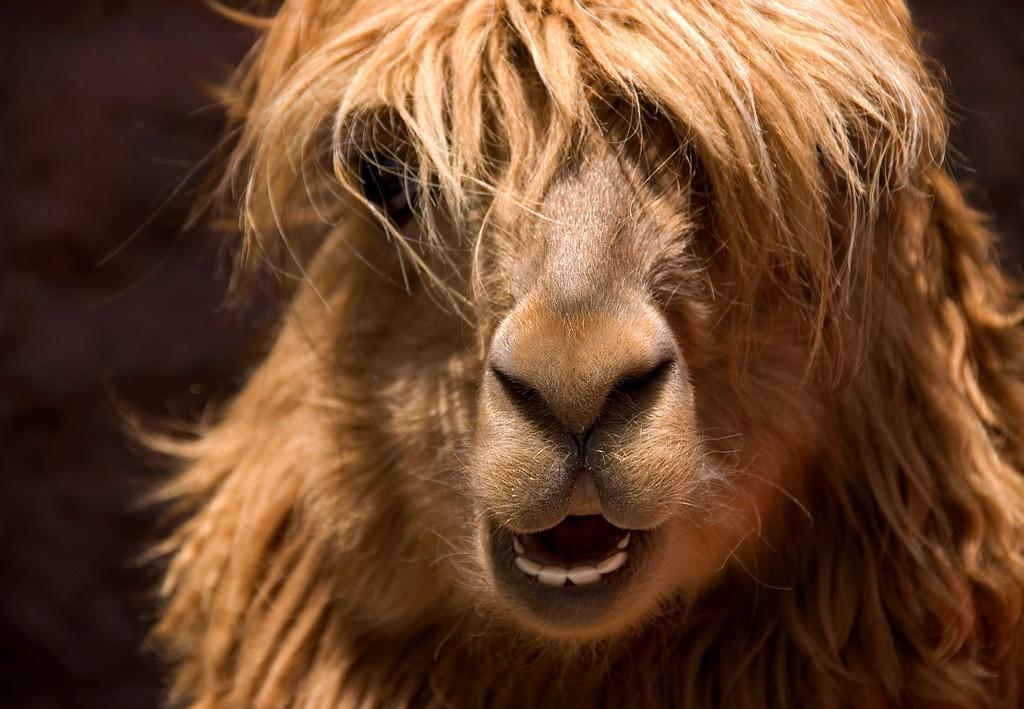 An alpaca in Peru