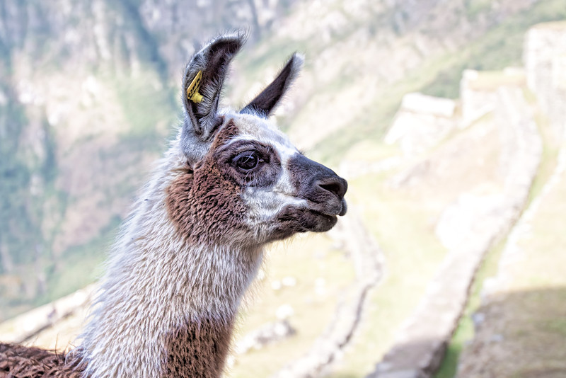 "This is the Lama that was out to get me. While in Machu Picchu the Lamas were on the move. It was near the end of the day and we were walking down a set of stais when a group of Lamas decided to make their way up the stairs. Well the group of people walking down all stopped and most of us moved to the side to let them by. I of course Photogrpahed them as they made there way up. Well while just looking through the lens this Lama walked right into me - you know the saying on the mirror - ""Objects maybe closer then they appear - yep...."