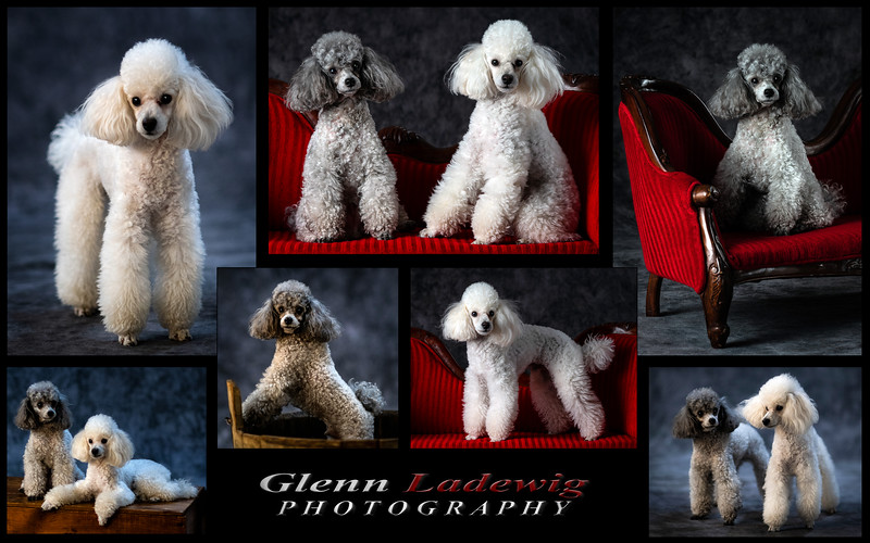 Poodle Dogs Collage IV copy