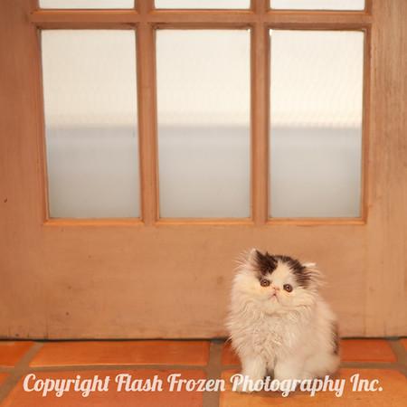 Fonzi - persian kitten - so tiny!