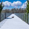 Frenchie on a Bridge