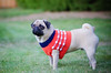Pug in sweater