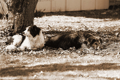 Sepia effect on several dogs on a dog day afternoon