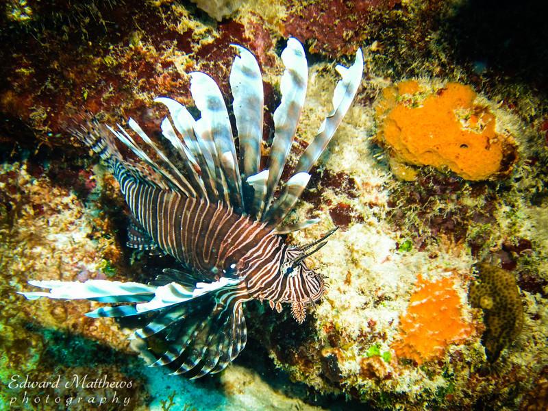 Lionfish (Bonaire)