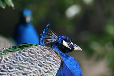 Peacocks at Middleton Place. Charleston, SC.