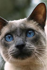 Otto. Siamese cat.