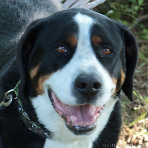 A Saint Bernese @ Parachutes for Pets