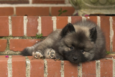 Willow, keeshond puppy