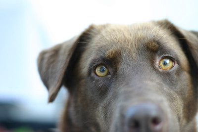 Fern, rescued labrador mix (Lowcountry Lab Rescue)