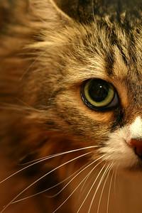 Jasmine, rescued Maine Coon cat.