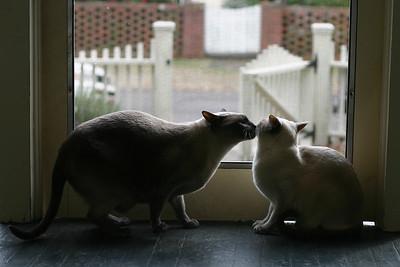 Siamese cats at play.