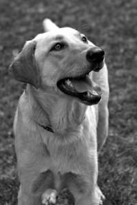 Riley, rescued labrador (Lowcountry Lab Rescue)