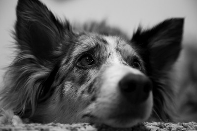 Syd - Black & White - Pet Photography