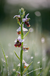 Hummel-Ragwurz (Ophrys holoserica), am Lech bei Staustufe 22, Schwaben, Bayern, Deutschland