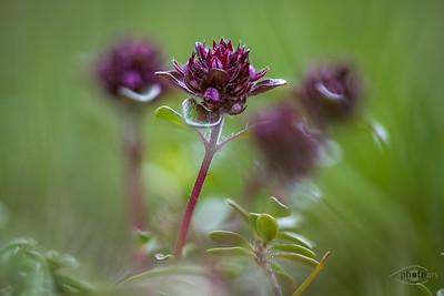 Echter Thymian (Thymus vulgaris) auf einer Heide nahe der Isar bei Wallgau, Oberbayern, Bayern, Deutschland