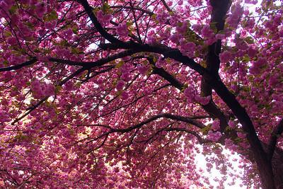 Cherry Blossoms | Philadelphia