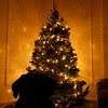 "Day 110 -It's Christmas Eve and we're home in NYC.  We were at Macy's, Rockfeller Center, and everything in between.  However, it was my tree that I decided on.  Manny is patiently awaiting Santa's arrival.  <br /> <br /> ""The most enduring traditions of the season are best enjoyed in the warm embrace of kith ond kin. This tree is a symbol of the spirit of the Griswold family Christmas."""