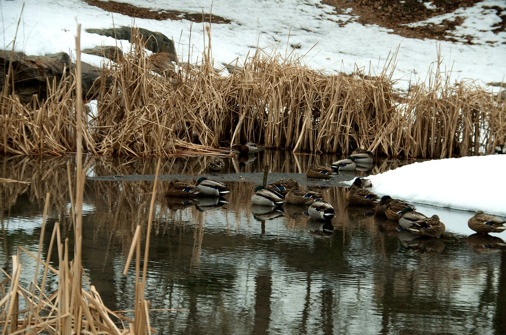 Day 157 -Some ducks take a nap in the park on a cold day.  I always wonder if there neck hurts when they wake up.
