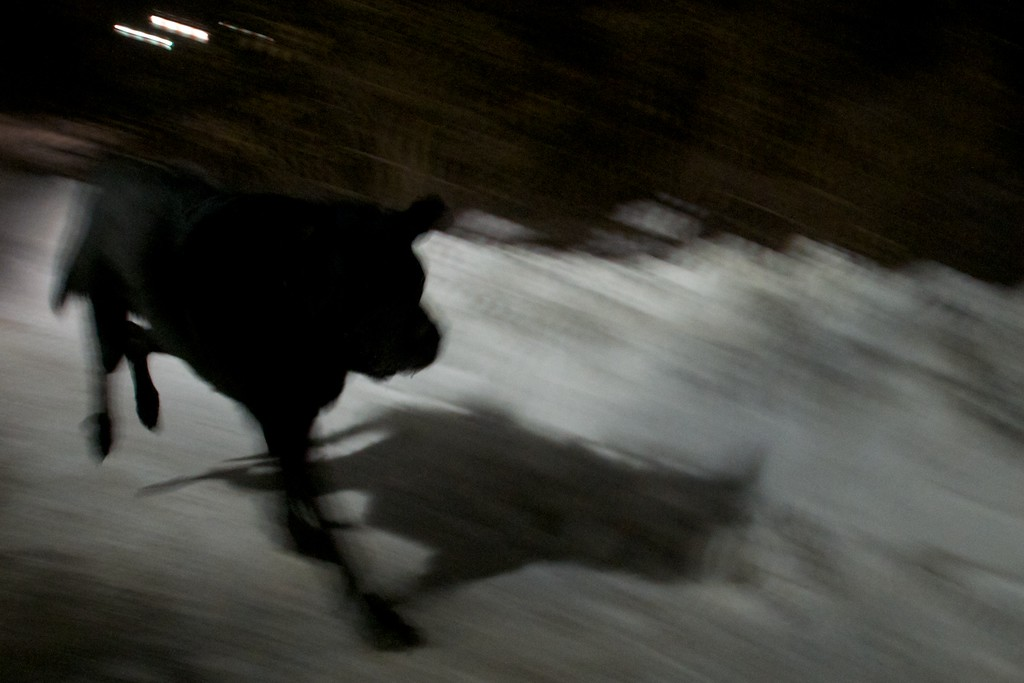 Day 130 -Like a super hero into the night, Manitou runs down a snowy path like a dog on a mission.  I'd like to think he could be a heroic dog if needed.  However, I wouldn't put money on it.