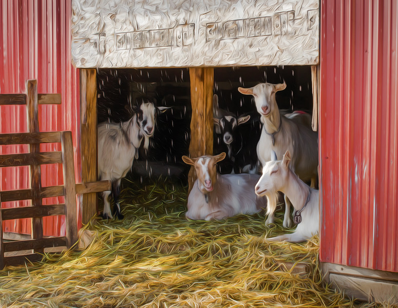 Goats' Chill Out Time