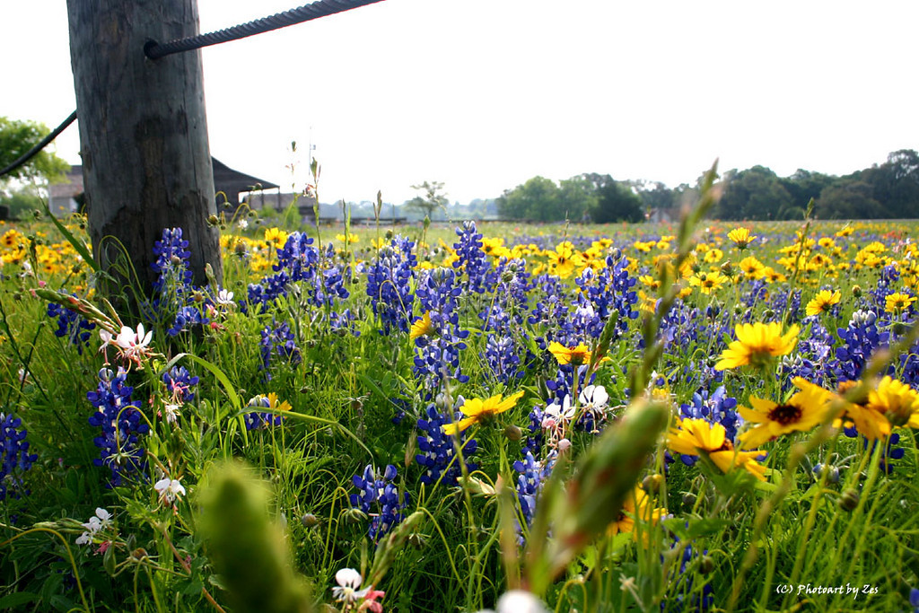 Bluebonnets by Nancy Jo Spaulding