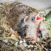 House Finch Chicks Hoping for Food