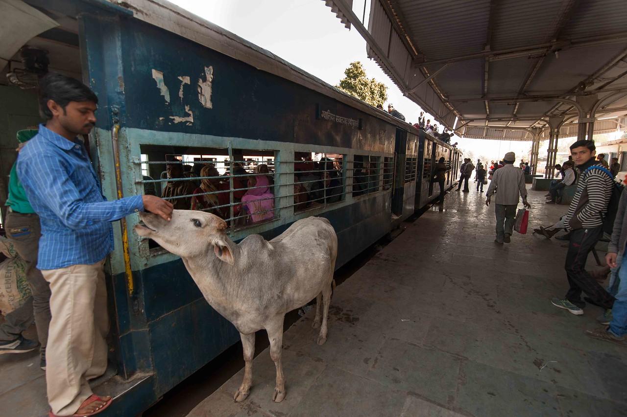 A daily passenger pets a cow at Sambalgarh station
