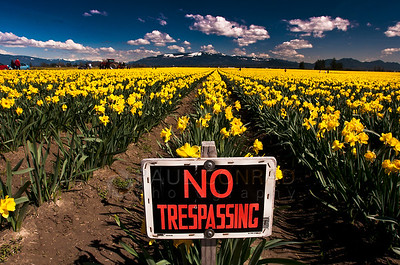 © Paul Conrad/Pablo Conrad Photography  Daffodils in Skagit County west of Mount Vernon, Wash., during the Skagit Valley Tulip Festival.