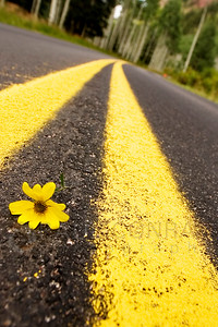 © Paul Conrad/Pablo Conrad Photography - A flower rests precariously in the middle of Castle Creek Road half way to Ashcroft, Clo., near Aspen.