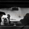 © Paul Conrad/Pablo Conrad Photography -<br /> A bulldog protects its owners Volkswagen Vanagon as it's parked on Bleeker Street in Aspen, Colo.