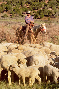 © Paul Conrad/Pablo Conrad Photography - Western Colorado rancher Craig Bair supervises the herding of sheep on his spread Bair Ranch 20 miles east of Glenwood Springs, Colo.