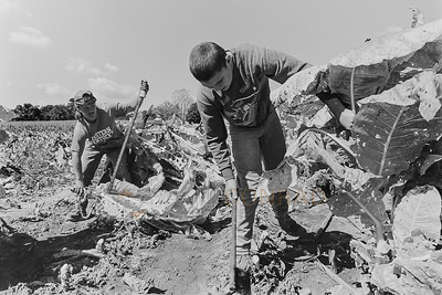 """Jimmy Ray Cardwell, 17, left, and his cousin William """"Buck"""" Greene, 15, harvest tobacco during October 1996 at Jerry Hudnell's farm  in Warren County northeast of Bowling Green, Ky. The Cardwells are tenant farmers living with 8 other family members in a patched-together, 120 year old home on Ridge Road. The family makes less than $7,500 per year. (© Paul Conrad/Paul Conrad Photography)"""