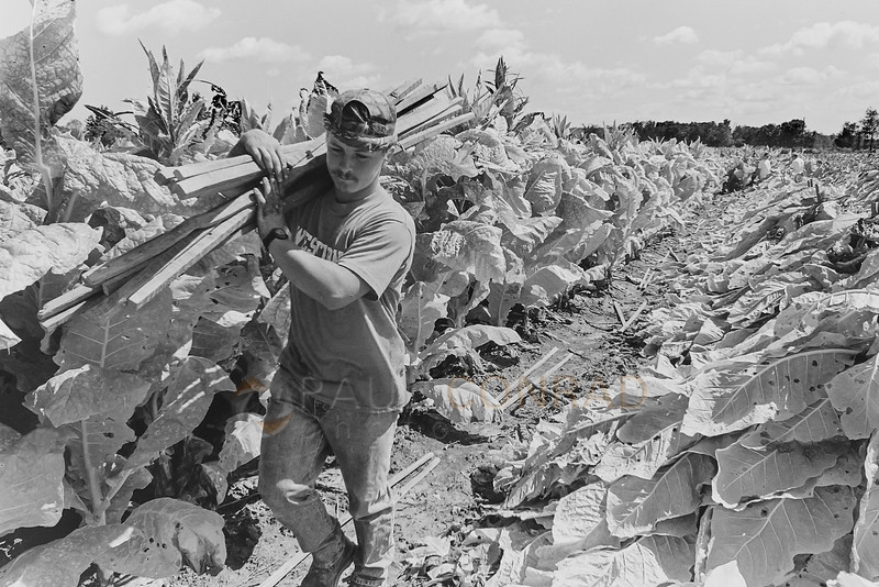 Prep Work - Billy Ray Cardwell, 17, hauls a load of spike before beginning a day of harvesting tobacco. (© Paul Conrad/Paul Conrad Photography)