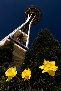 © Paul Conrad/ Pablo Conrad Photography  Dafodils reach for the sky under the Space Needle in Seattle, Wash.