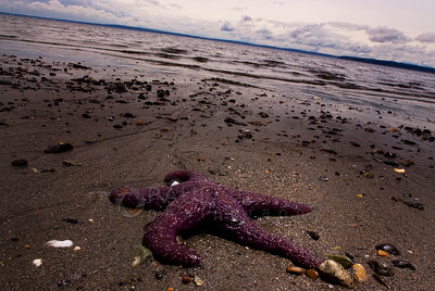 © Paul Conrad/ Pablo Conrad Photography  A starfish lies on the beach as the tide comes in at Carkeek Park in Seattle, Wash., during the slack low tide.