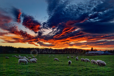 © Paul Conrad/ Pablo Conrad Photography  The sun lights the sky afire as sheep graze under the beauty in Snohomish County north of Seattle, Wash.