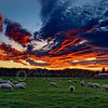 © Paul Conrad/ Pablo Conrad Photography<br /> <br /> The sun lights the sky afire as sheep graze under the beauty in Snohomish County north of Seattle, Wash.