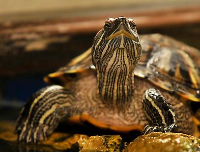 © Paul Conrad/ Pablo Conrad Photography  A turtle looks around it's aquarium in Tulalip, Wash., north of Seattle.