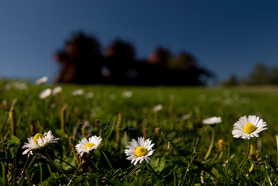 © Paul Conrad/ Pablo Conrad Photography  Ox eye daisies reach for the sun at Gasworks Park in Seattle, Wash.