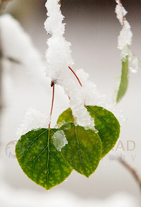 © Paul Conrad/Pablo Conrad Photography A late winter storm leaves its mark on budding aspen leaves.