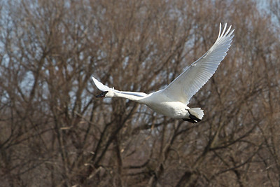 2/25/12 - Trumpeter swan in Monticello, MN