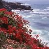 Bouganvilla on California cliff - slide scan