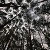 Pines reaching the Ukrainian sky