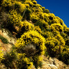 Calif Gold- Hillside on the road up to Lake Arrowhead. The color was great and the smell was even better.