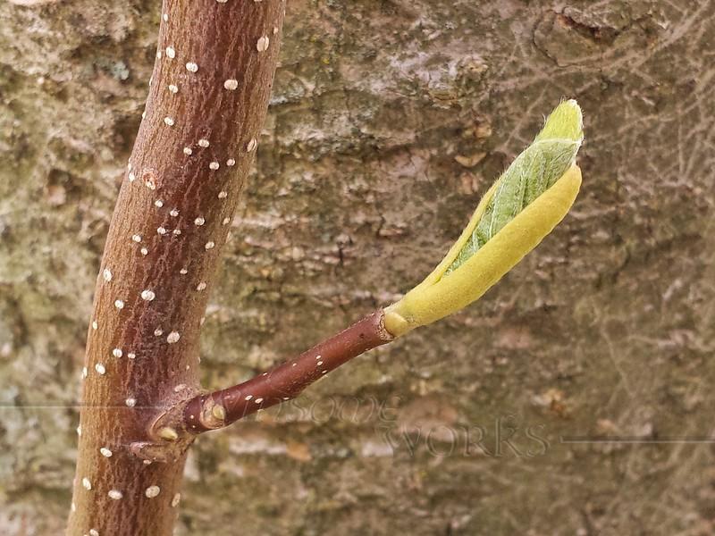 Japanese Magnolia tree shoot  -  4/28/2015