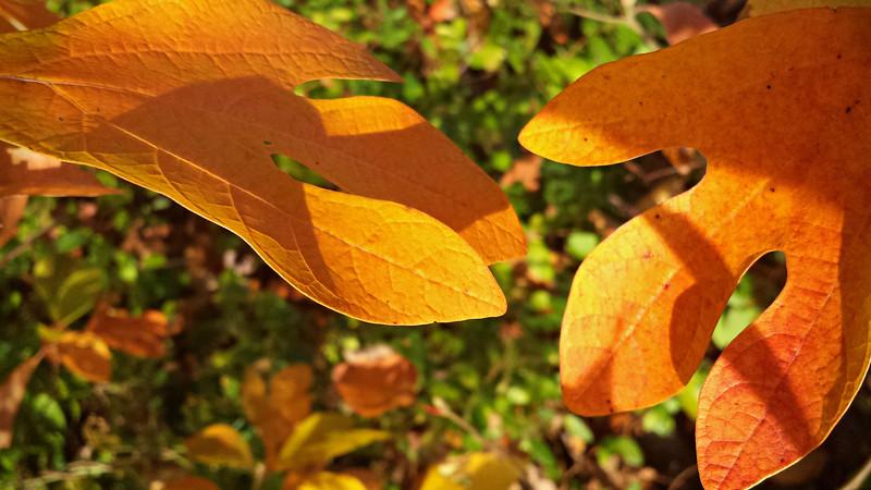 Sassafras leaves in gold - Springtown, PA, autumn  - 10/27/2014