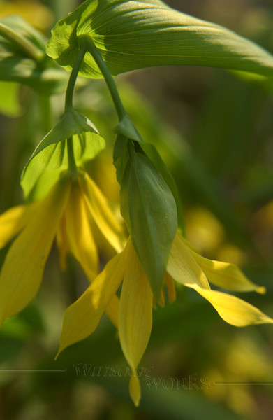 Merry Bells wildflower (Uvularia) a.k.a. bellwort or wild oats, of family Liliaceae  - 4/22/2010